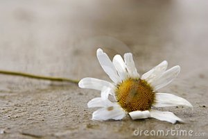 Withered Daisy