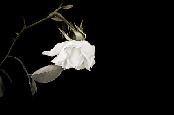 Closeup of withered rose on black background
