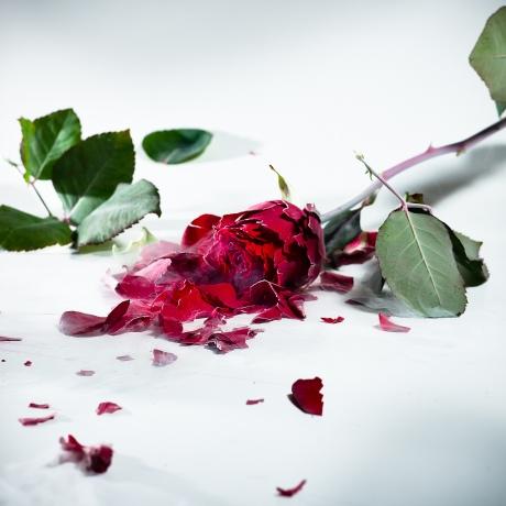 broken-rose