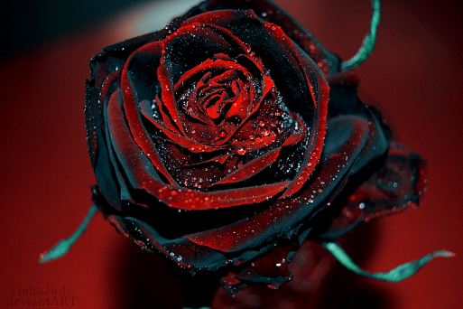 red-and-black-roses
